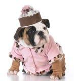 Female english bulldog puppy Stock Photo