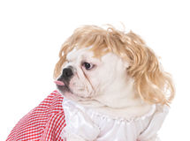 Female english bulldog Stock Photos