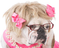 female english bulldog Royalty Free Stock Images