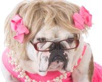 Female english bulldog Stock Image
