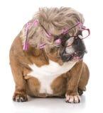 Female english bulldog Stock Photography