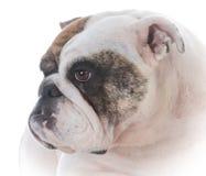 Female english bulldog. On white background Royalty Free Stock Image