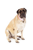 Female English Mastiff Pink Collar Stock Photos