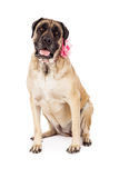Female English Mastiff in Pink Royalty Free Stock Photography