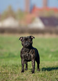 Female english staffordshire bull terrier Royalty Free Stock Images