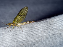 Female Ephemera danica subimago - Mayfly. Aka Green Drake in the UK Royalty Free Stock Images