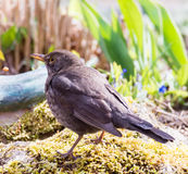 Female Eurasian Balckbird Royalty Free Stock Photo