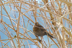 Female Eurasian Blackbird, Common Blackbird with yellow eye ring Stock Photo
