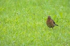 Female Eurasian Blackbird walking in green meadow in Austria, Eu Royalty Free Stock Image