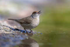 Female Eurasian blackcap Stock Photography