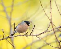 Female eurasian bullfinch bird Stock Images