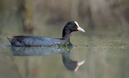 Female Eurasian Coot swimming fast in spring water of forest pool stock image