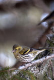 Female Eurasian Siskin (Carduelis spinus). Female Eurasian Siskin (Carduelis spinus) on a spruce branch stock images
