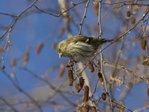 Female Eurasian Siskin fed seeds on a branch of birch in winter. Royalty Free Stock Photos