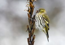 Female Eurasian Siskin sits on herbaceous plant with a lot of winter snowflakes royalty free stock photo
