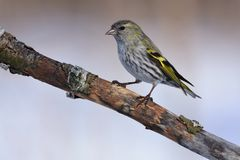 Female of eurasian siskin sits on an old branch: very close, can. Female of eurasian siskin Spinus spinus sits on an old branch: very close, can see every Royalty Free Stock Images