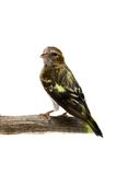 The female of Eurasian Siskin on white Royalty Free Stock Photos