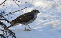 Female Eurasian Sparrowhawk sits in snow near a bush in winter stock photography