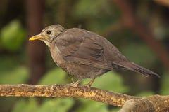 Female European Blackbird. A female European Blackbird hunched up on a perch in New Zealand Stock Photo