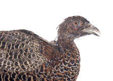 Female European Common Pheasant Stock Image