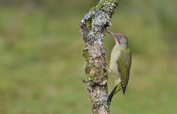 Female european green woodpecker on a branch Royalty Free Stock Image