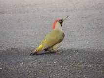 Female European green woodpecker picus viridis Royalty Free Stock Photos