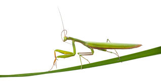 Female European Mantis or Praying Mantis, Mantis Royalty Free Stock Images