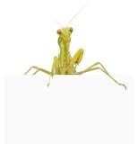 Female European Mantis Royalty Free Stock Photography