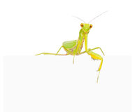 Female European Mantis Royalty Free Stock Image