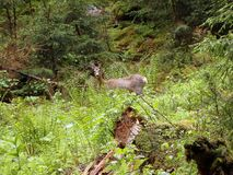 European roe deer stock photography