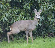 Female European Roe Deer in front of rhododendron Bushes Royalty Free Stock Image