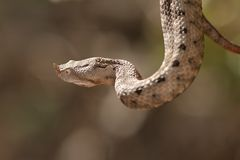 Female european sand viper Stock Images