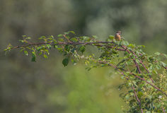 Female European Stonechat Royalty Free Stock Photo