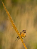 Female European Stonechat on Giant cane stem Royalty Free Stock Photography
