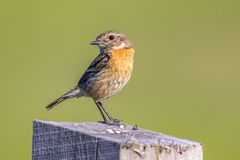 Female European stonechat looking backward. Female European stonechat (Saxicola rubicola) looking backward and perched on log in rural landscape in the Royalty Free Stock Images