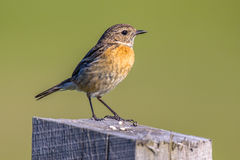 Female European stonechat. Saxicola rubicola perched on log in rural landscape in the Netherlands Stock Photo
