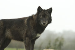 Female European Wolf. A young female european wolf looking directly at the camera Stock Photo