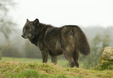 Female European Wolf Stock Photography