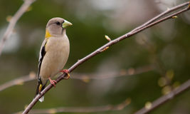 A Female Evening Grosbeak Royalty Free Stock Photos
