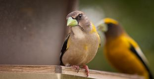 Female Evening Grosbeak Closeup Royalty Free Stock Photography