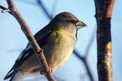 Female Evening grosbeak Royalty Free Stock Images