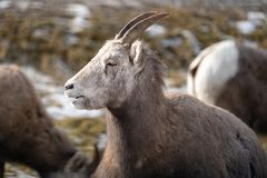 Female ewe bighorn sheep relaxing in the wild, in Radium Hot Springs British Columbia. Sheep has mouth open royalty free stock photography
