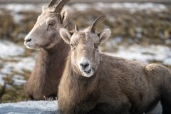 Female ewe bighorn sheep relaxing in the wild, in Radium Hot Springs British Columbia. Sheep is eating and chewing royalty free stock images