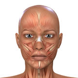 Female Face Muscles Anatomy Royalty Free Stock Photos