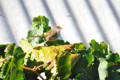 Female fairy wren on grape vine. A female fairy wren on grape vine in a dry inland area, just prior to the growth of new grapes. These birds are highly active in Royalty Free Stock Photos