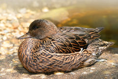 Female Falcated Duck Royalty Free Stock Photography