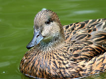 Female Falcated Ducks Stock Image