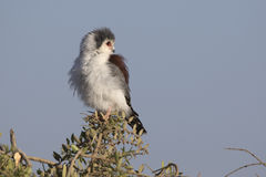 Female falcon pigmy sitting on a branch of acacia in the savanna Royalty Free Stock Images