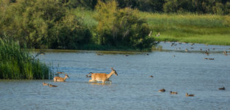 Female Fallow Deer and calf royalty free stock photography