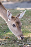 Female Fallow deer. Close up head of female fallow deer Royalty Free Stock Photography